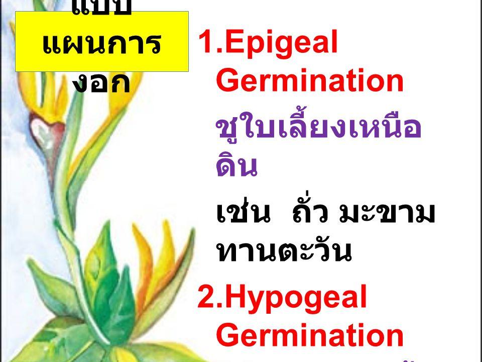 แบบ แผนการ งอก 1.Epigeal Germination ชูใบเลี้ยงเหนือ ดิน เช่น ถั่ว มะขาม ทานตะวัน 2.Hypogeal Germination ขณะงอกใบเลี้ยง หรือเมล็ดอยู่ ใต้ดิน เช่น ข้าว