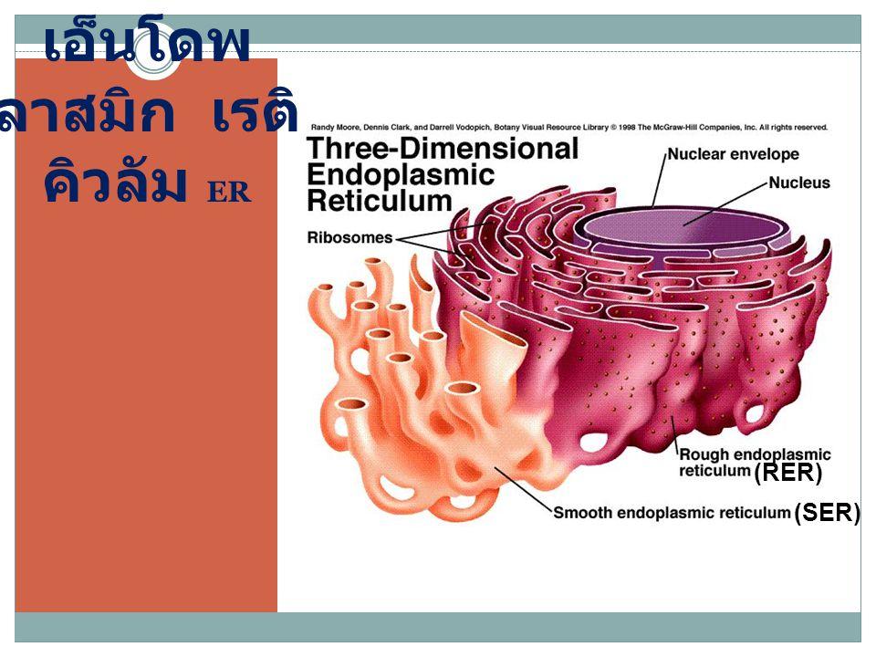 เอ็นโดพ ลาสมิก เรติ คิวลัม ER (SER) (RER)