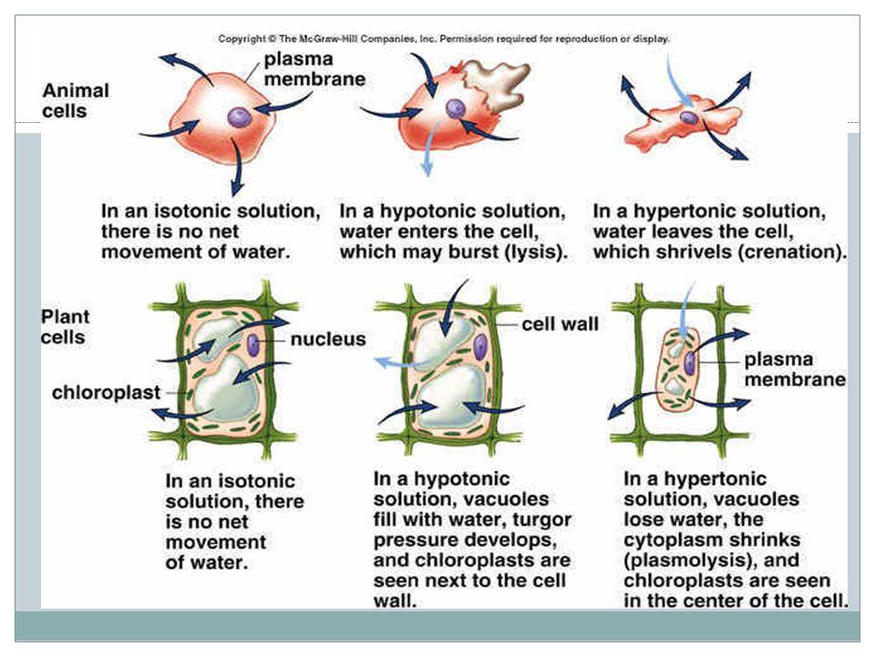 Plasmoplysis plasmolysisPlasmoplysisplasmolysis