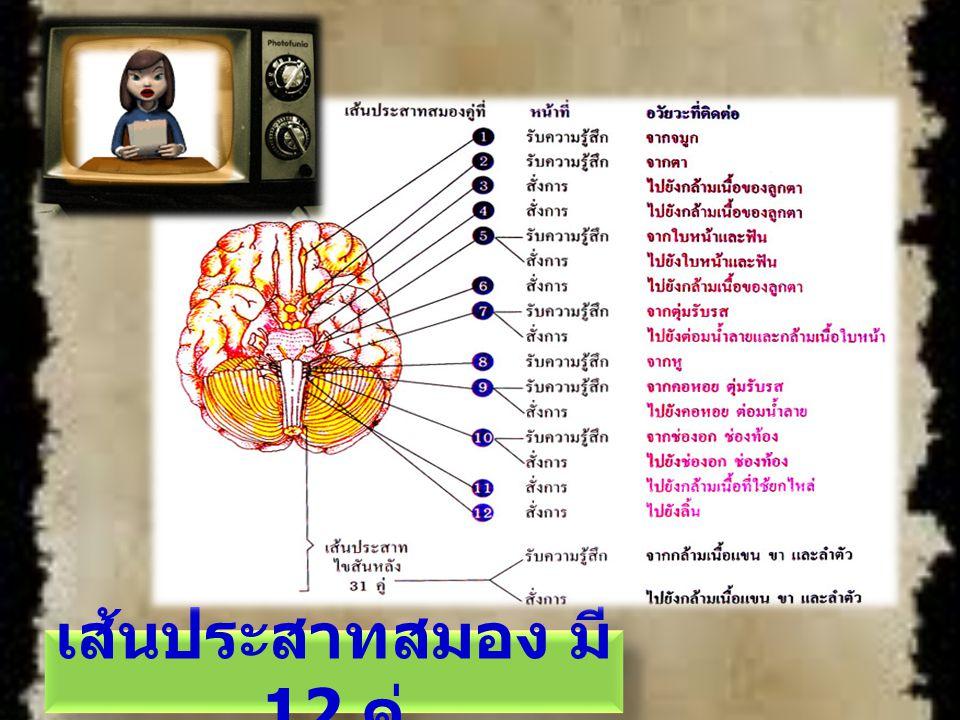 เส้นประสาทสมอง มี 12 คู่
