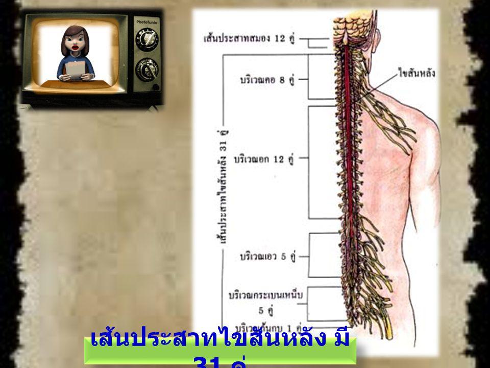 ระบบประสาทอัตโนมัติ ประกอบด้วยระบบ ประสาทซิมพาเธติก และระบบประสาทพารา ซิมพาเธติก