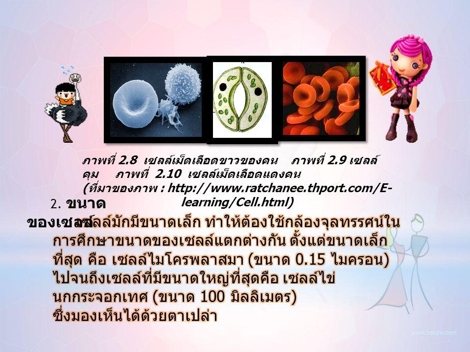 ภาพที่ 2.5 เซลล์กล้ามเนื้อเรียบของคน ภาพที่ 2.6 เซลล์ ประสาทคน ภาพที่ 2.7 เซลล์อสุจิคน ( ที่มาของภาพ : http://images.google.co.th)http://images.google