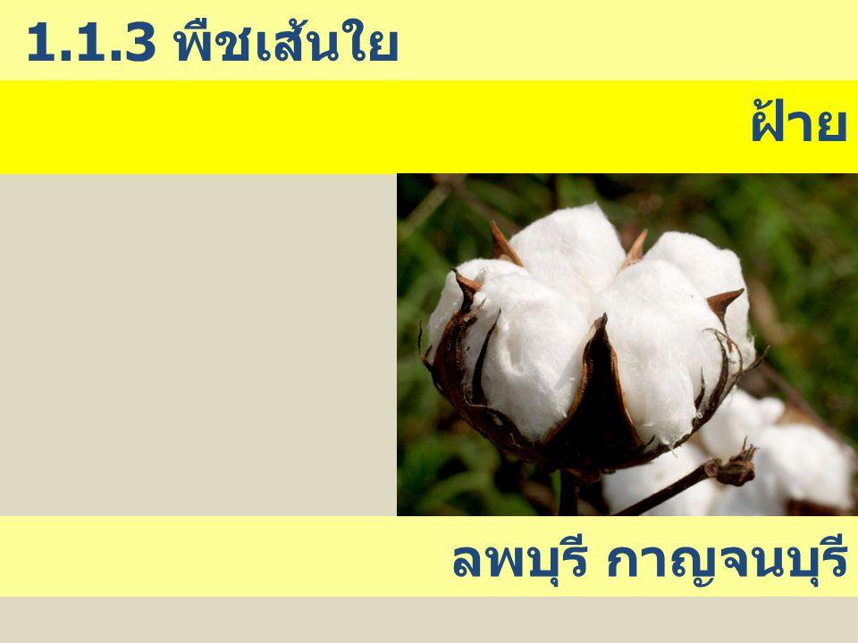 ฝ้าย 1.1.3 พืชเส้นใย ลพบุรี กาญจนบุรี