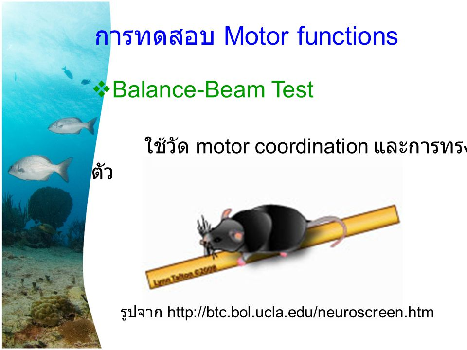  Balance-Beam Test ใช้วัด motor coordination และการทรง ตัว การทดสอบ Motor functions รูปจาก http://btc.bol.ucla.edu/neuroscreen.htm
