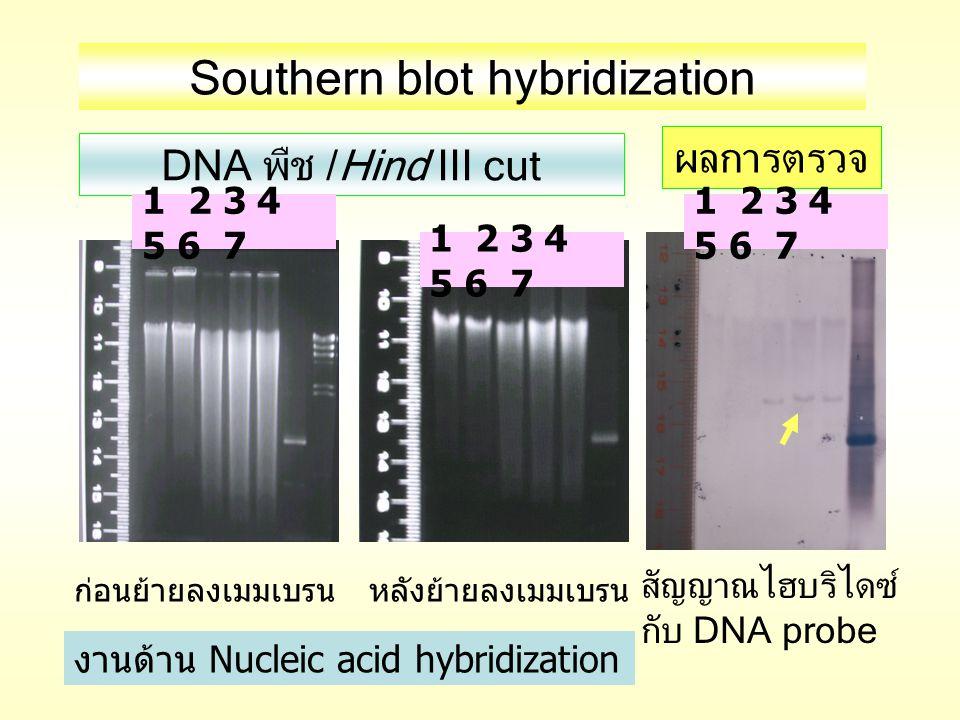 DNA พืช /Hind III cut ก่อนย้ายลงเมมเบรนหลังย้ายลงเมมเบรน สัญญาณไฮบริไดซ์ กับ DNA probe ผลการตรวจ 1 2 3 4 5 6 7 Southern blot hybridization งานด้าน Nuc