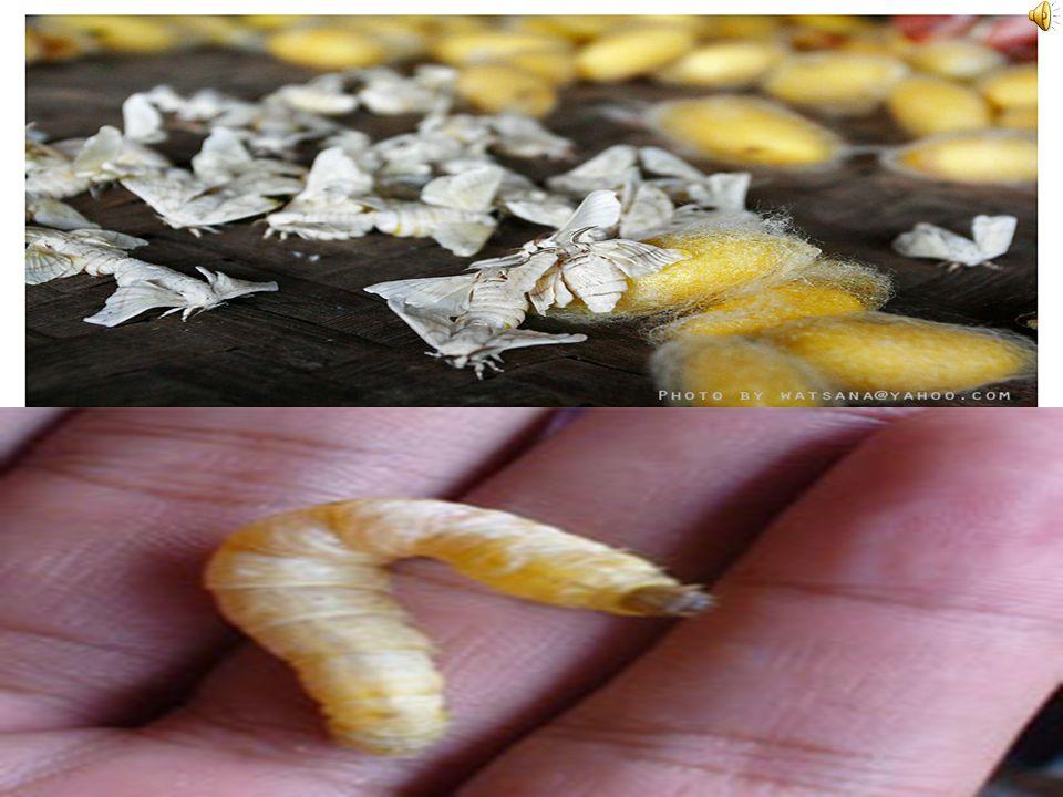 ความเป็นมาของผ้าไหม ไหม เป็นแมลงประเภทผีเสื้อตัวหนอนไหม กินพืชได้หลายชนิด แต่ ชอบกินใบหม่อนมากที่สุด ทว่าหม่อนจัดเป็นพืชยืนต้นซึ่ง เจริญเติบโตค่อนข้าง