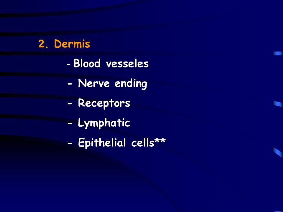 2. Dermis - Blood vesseles - Nerve ending - Receptors - Lymphatic - Epithelial cells**