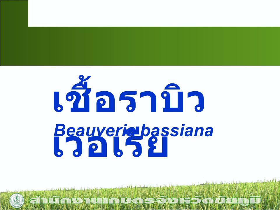 เชื้อราบิว เวอเรีย Beauveria bassiana