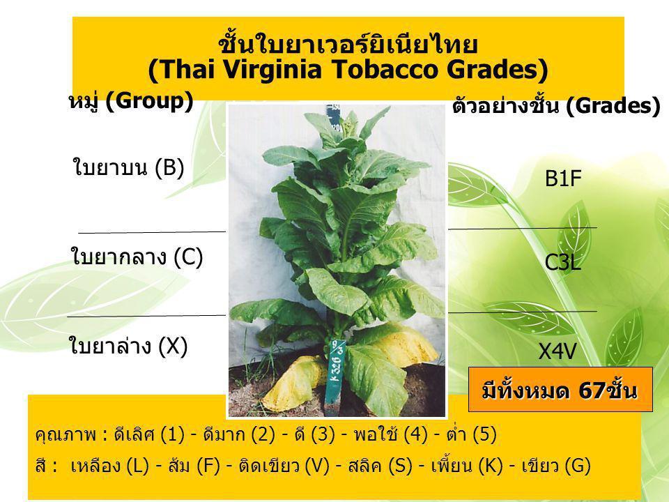 ชั้นใบยาเวอร์ยิเนียไทย (Thai Virginia Tobacco Grades) ใบยาบน (B) X4V คุณภาพ : ดีเลิศ (1) - ดีมาก (2) - ดี (3) - พอใช้ (4) - ต่ำ (5) สี : เหลือง (L) -