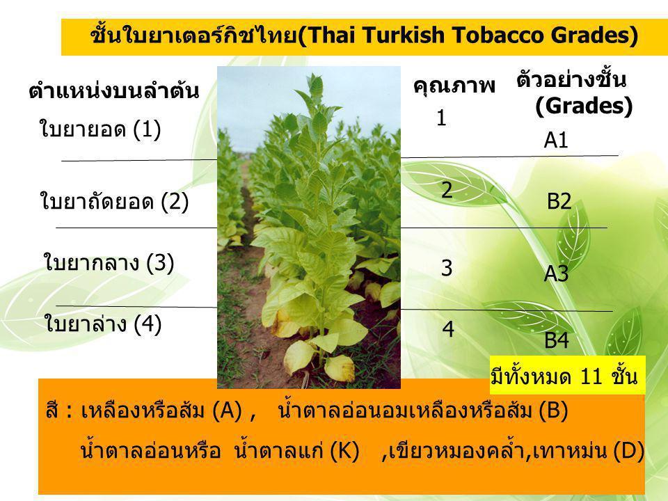 สี : เหลืองหรือส้ม (A), น้ำตาลอ่อนอมเหลืองหรือส้ม (B) น้ำตาลอ่อนหรือ น้ำตาลแก่ (K),เขียวหมองคล้ำ,เทาหม่น (D) A1 ตำแหน่งบนลำต้น ใบยาถัดยอด (2) ใบยากลาง