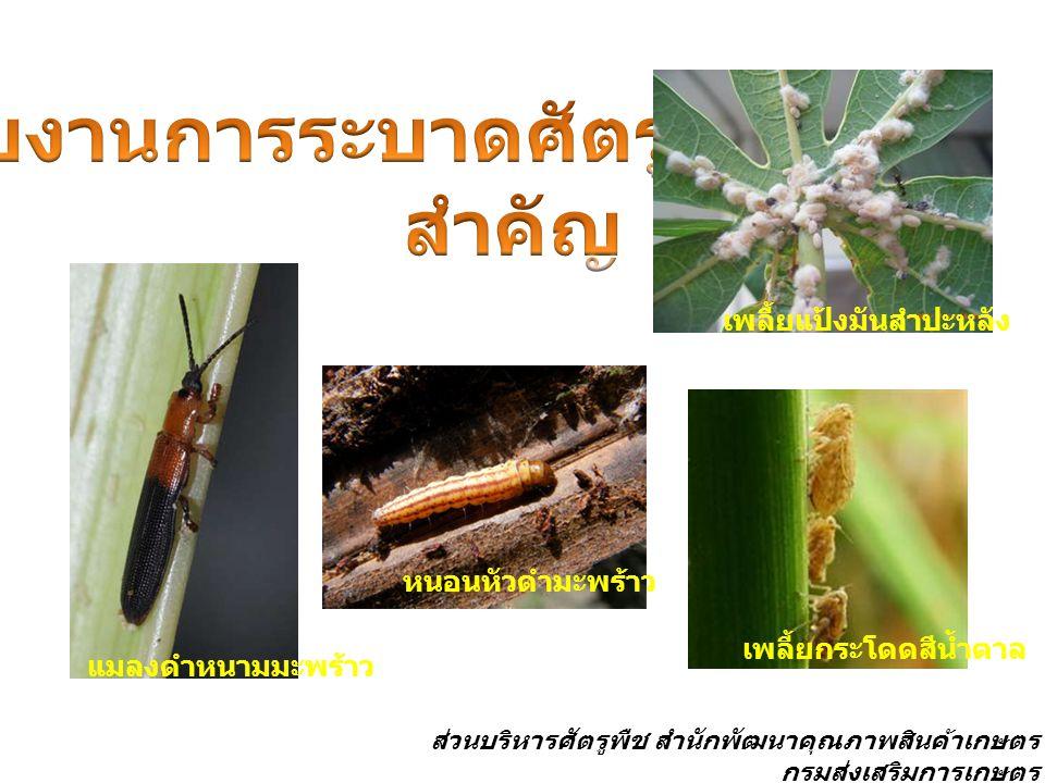 แมลงดำหนามมะพร้าว เพลี้ยกระโดดสีน้ำตาล เพลี้ยแป้งมันสำปะหลัง หนอนหัวดำมะพร้าว ส่วนบริหารศัตรูพืช สำนักพัฒนาคุณภาพสินค้าเกษตร กรมส่งเสริมการเกษตร