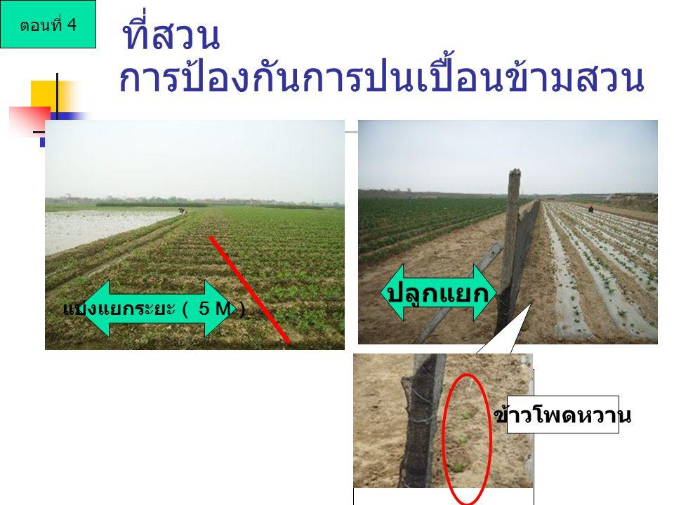 แบ่งแยกระยะ(5M) ข้าวโพดหวาน การป้องกันการปนเปื้อนข้ามสวน ปลูกแยก ที่สวน ตอนที่ 4