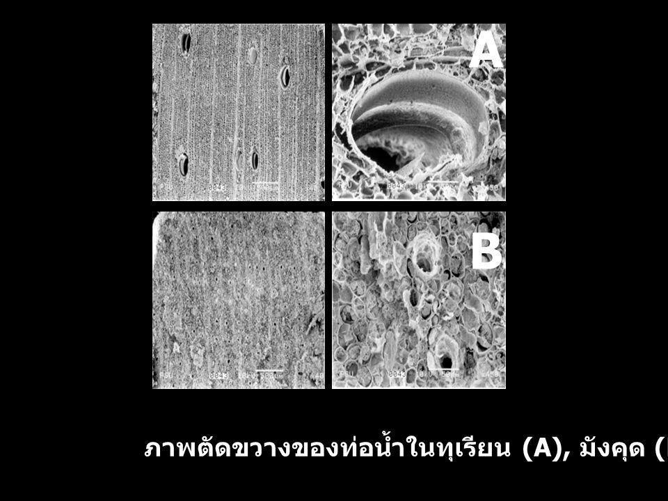 ภาพตัดขวางของท่อน้ำในทุเรียน (A), มังคุด (B) B A