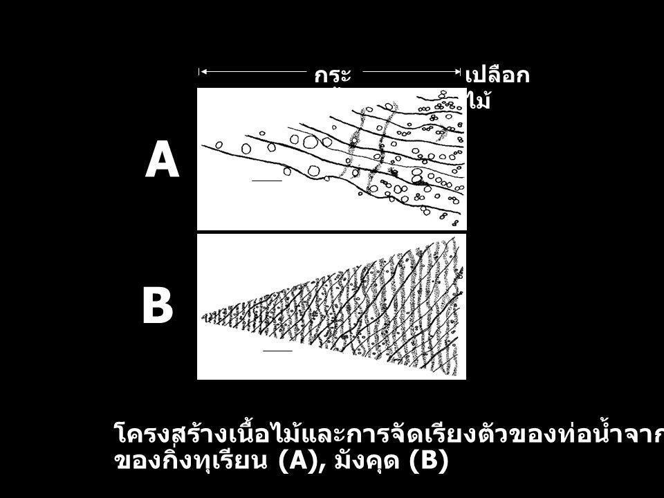A B เปลือก ไม้ กระ พี้ โครงสร้างเนื้อไม้และการจัดเรียงตัวของท่อน้ำจากการตัดตามขวาง ของกิ่งทุเรียน (A), มังคุด (B)