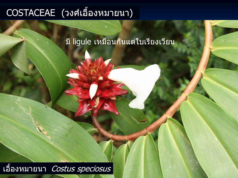 COSTACEAE (วงศ์เอื้องหมายนา) เอื้องหมายนา Costus speciosus มี ligule เหมือนกันแต่ใบเรียงเวียน