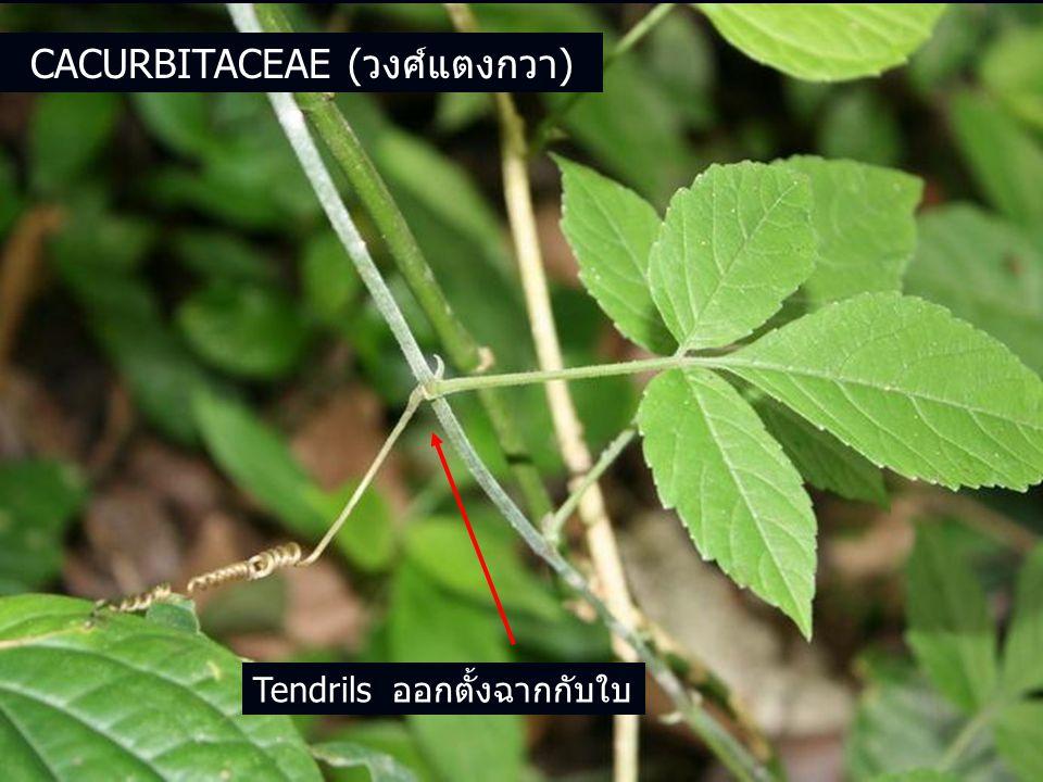 Tendrils ออกตั้งฉากกับใบ CACURBITACEAE (วงศ์แตงกวา)