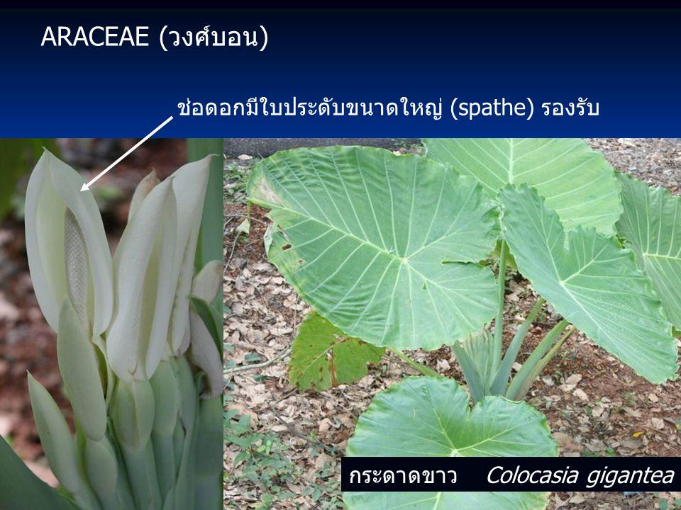 ARACEAE (วงศ์บอน) ช่อดอกมีใบประดับขนาดใหญ่ (spathe) รองรับ กระดาดขาว Colocasia gigantea