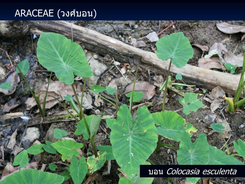ARACEAE (วงศ์บอน) บอน Colocasia esculenta