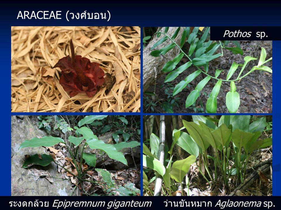 ARACEAE (วงศ์บอน) Pothos sp. ระงดกล้วย Epipremnum giganteumว่านขันหมาก Aglaonema sp.