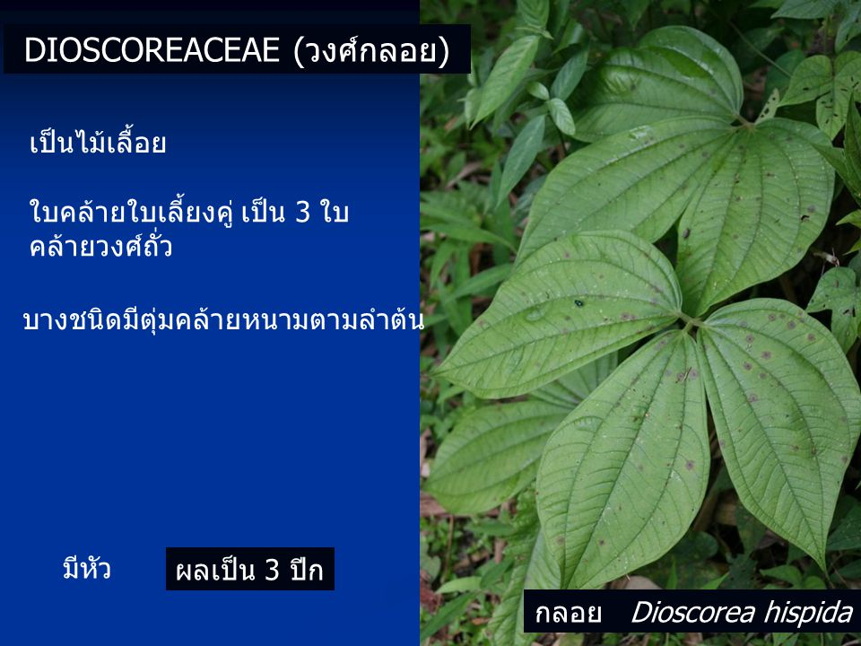 ใบคล้ายใบเลี้ยงคู่ เป็น 3 ใบ คล้ายวงศ์ถั่ว DIOSCOREACEAE (วงศ์กลอย) เป็นไม้เลื้อย มีหัว ผลเป็น 3 ปีก บางชนิดมีตุ่มคล้ายหนามตามลำต้น กลอย Dioscorea hispida