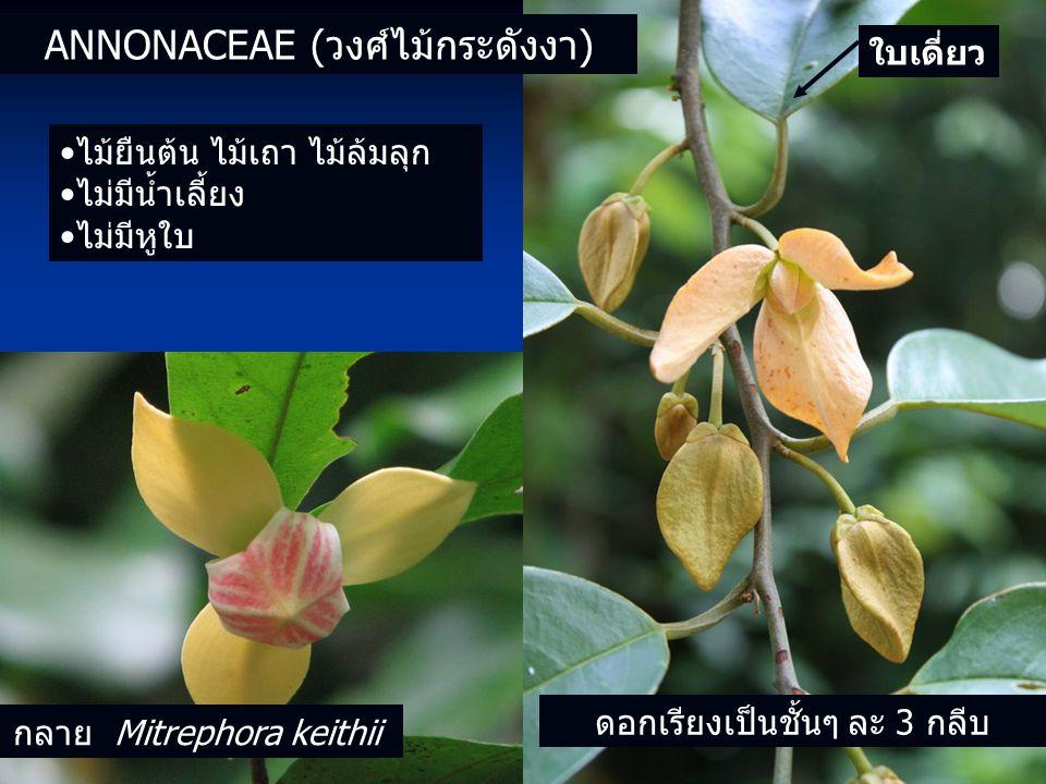 ดอกเรียงเป็นชั้นๆ ละ 3 กลีบ ANNONACEAE (วงศ์ไม้กระดังงา) ไม้ยืนต้น ไม้เถา ไม้ล้มลุก ไม่มีน้ำเลี้ยง ไม่มีหูใบ ใบเดี่ยว กลาย Mitrephora keithii