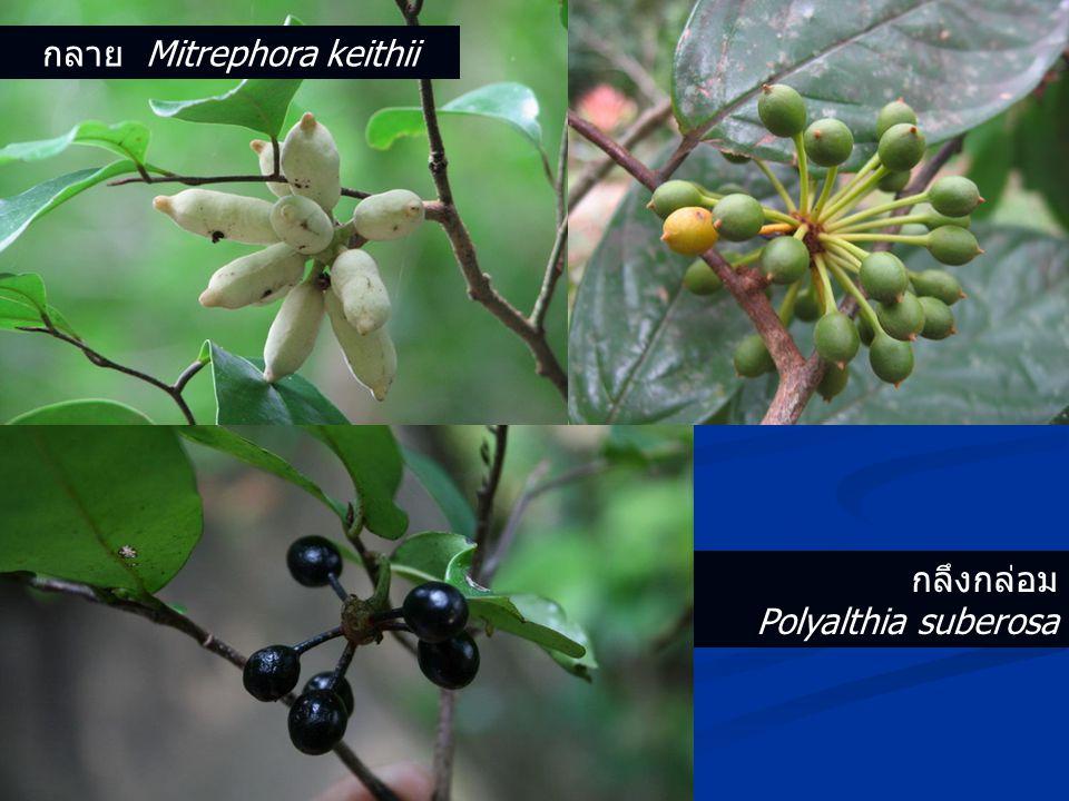 กลึงกล่อม Polyalthia suberosa กลาย Mitrephora keithii