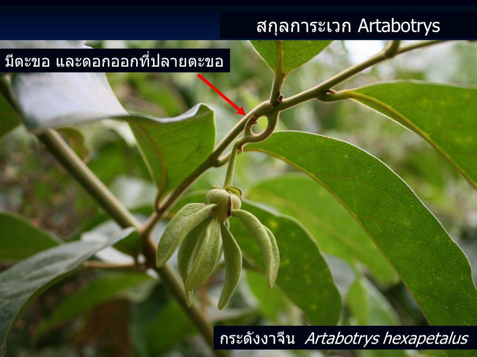 สกุลการะเวก Artabotrys กระดังงาจีน Artabotrys hexapetalus มีตะขอ และดอกออกที่ปลายตะขอ