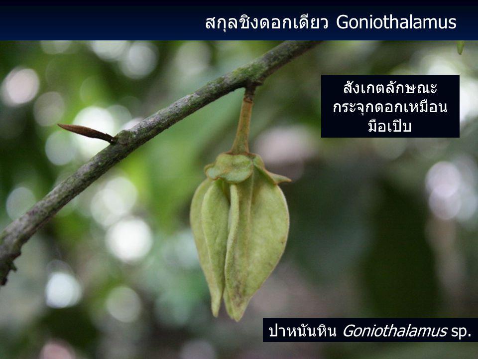 สกุลชิงดอกเดียว Goniothalamus สังเกตลักษณะ กระจุกดอกเหมือน มือเปิบ ปาหนันหิน Goniothalamus sp.
