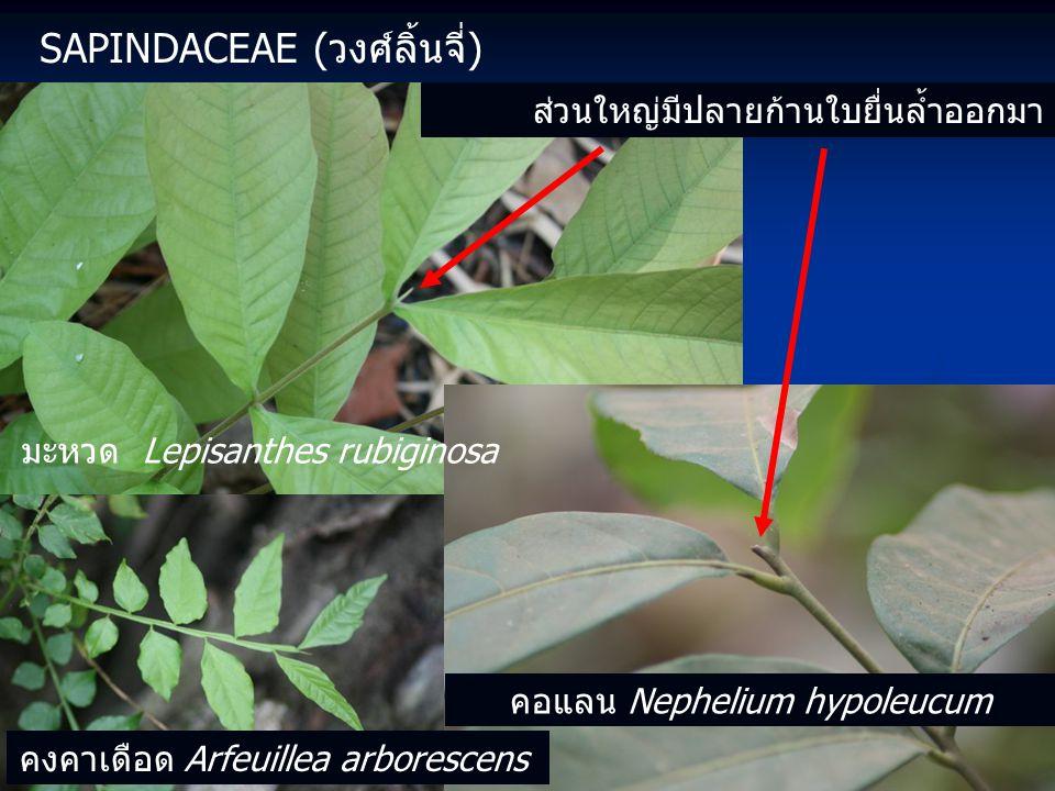 SAPINDACEAE (วงศ์ลิ้นจี่) ส่วนใหญ่มีปลายก้านใบยื่นล้ำออกมา มะหวด Lepisanthes rubiginosa คอแลน Nephelium hypoleucum คงคาเดือด Arfeuillea arborescens