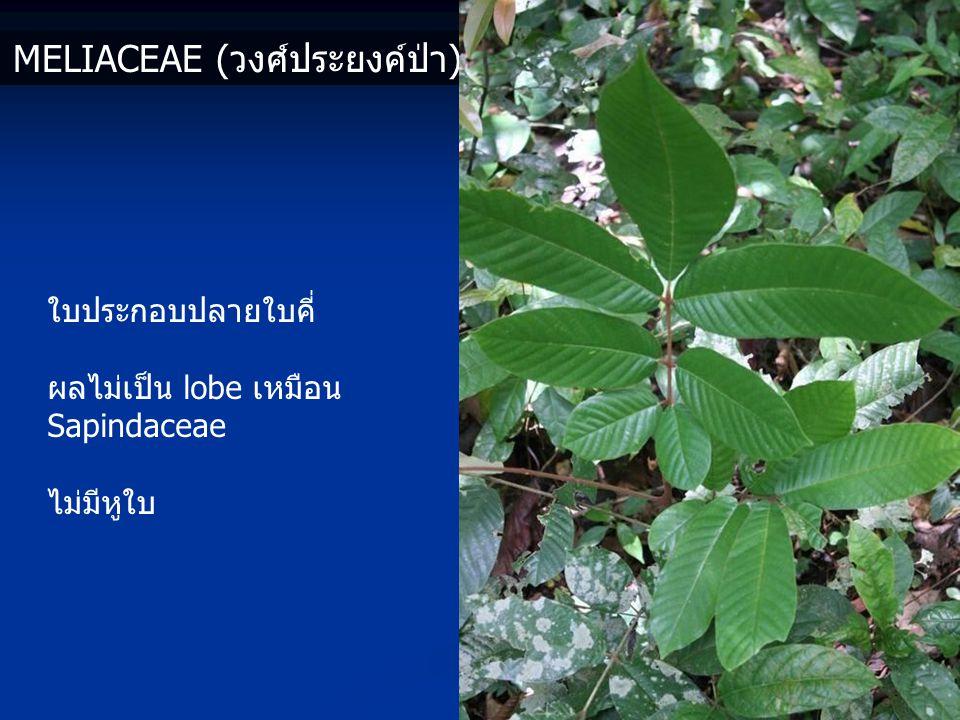 MELIACEAE (วงศ์ประยงค์ป่า) ใบประกอบปลายใบคี่ ผลไม่เป็น lobe เหมือน Sapindaceae ไม่มีหูใบ