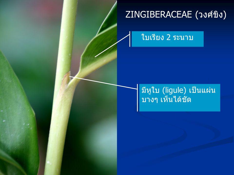 ZINGIBERACEAE (วงศ์ขิง) ใบเรียง 2 ระนาบ มีหูใบ (ligule) เป็นแผ่น บางๆ เห็นได้ชัด