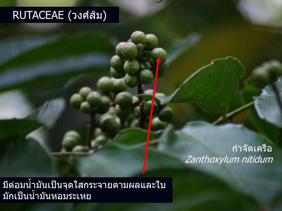 RUTACEAE (วงศ์ส้ม) มีต่อมน้ำมันเป็นจุดใสกระจายตามผลและใบ มักเป็นน้ำมันหอมระเหย กำจัดเครือ Zanthoxylum nitidum
