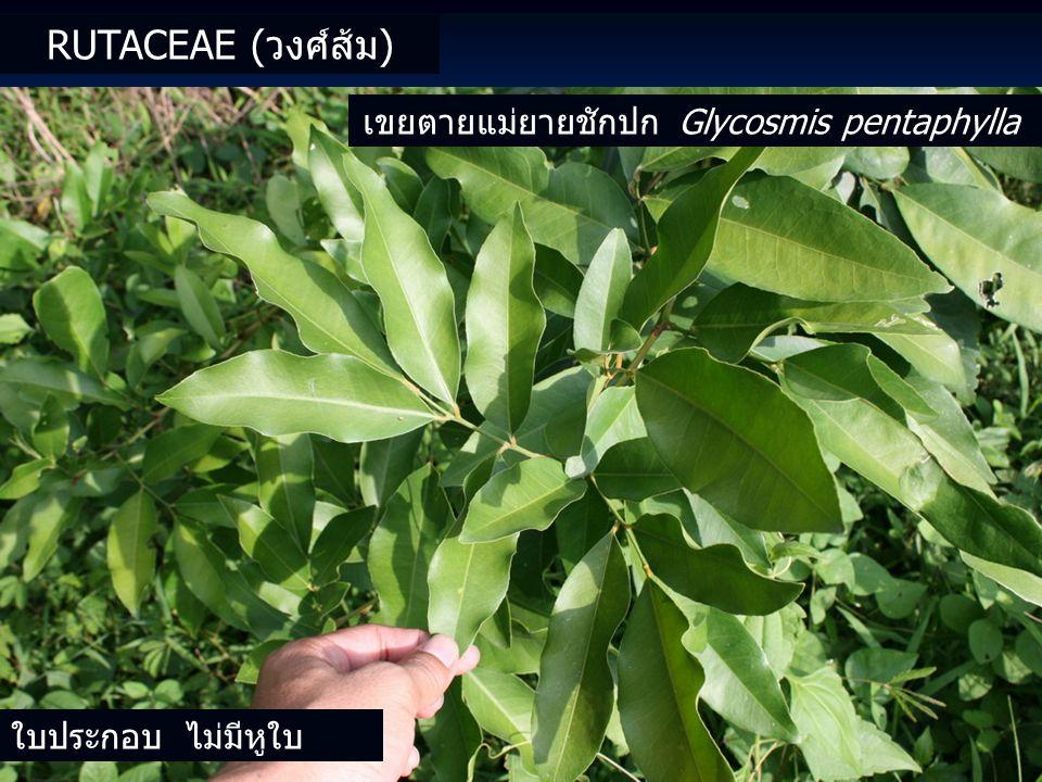 ใบประกอบ ไม่มีหูใบ เขยตายแม่ยายชักปก Glycosmis pentaphylla