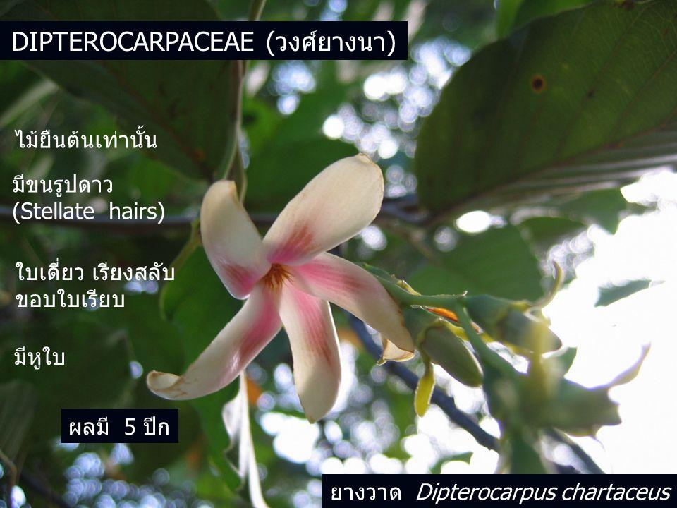 DIPTEROCARPACEAE (วงศ์ยางนา) ไม้ยืนต้นเท่านั้น มีขนรูปดาว (Stellate hairs) ใบเดี่ยว เรียงสลับ ขอบใบเรียบ มีหูใบ ผลมี 5 ปีก ยางวาด Dipterocarpus chartaceus