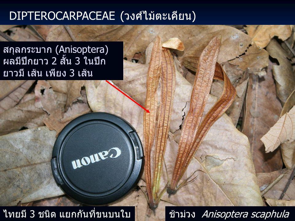 DIPTEROCARPACEAE (วงศ์ไม้ตะเคียน) สกุลกระบาก (Anisoptera) ผลมีปีกยาว 2 สั้น 3 ในปีก ยาวมี เส้น เพียง 3 เส้น ไทยมี 3 ชนิด แยกกันที่ขนบนใบช้าม่วง Anisoptera scaphula