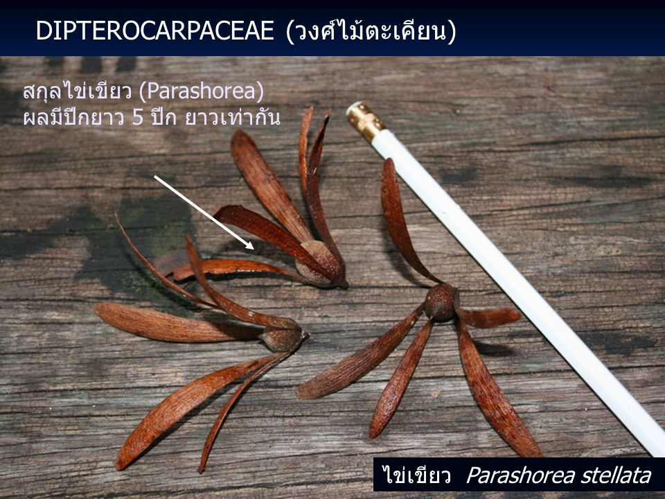 DIPTEROCARPACEAE (วงศ์ไม้ตะเคียน) สกุลไข่เขียว (Parashorea) ผลมีปีกยาว 5 ปีก ยาวเท่ากัน ไข่เขียว Parashorea stellata