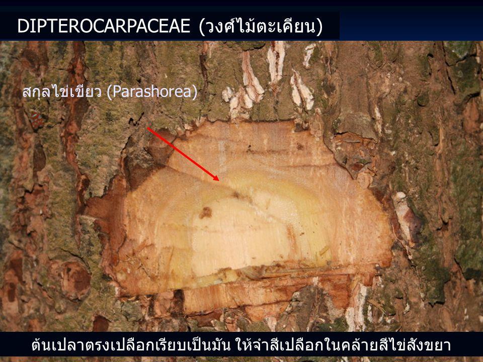 DIPTEROCARPACEAE (วงศ์ไม้ตะเคียน) สกุลไข่เขียว (Parashorea) ต้นเปลาตรงเปลือกเรียบเป็นมัน ให้จำสีเปลือกในคล้ายสีไข่สังขยา