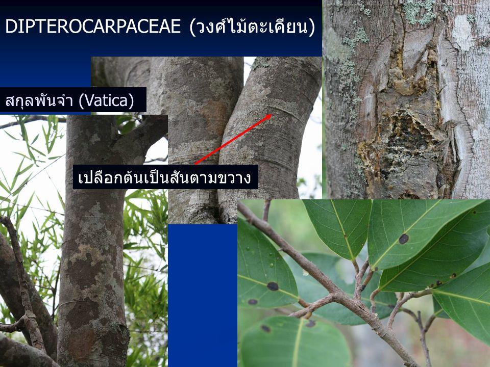 DIPTEROCARPACEAE (วงศ์ไม้ตะเคียน) สกุลพันจำ (Vatica) เปลือกต้นเป็นสันตามขวาง