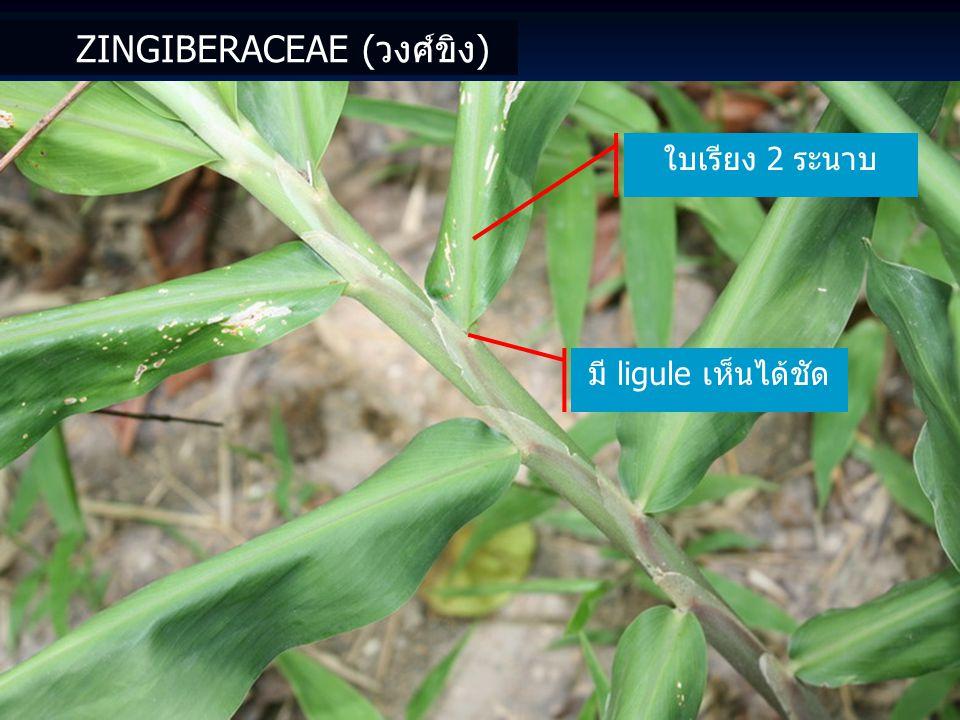 ZINGIBERACEAE (วงศ์ขิง) ลักษณะดอกในสกุลเข้าพรรษา Globba