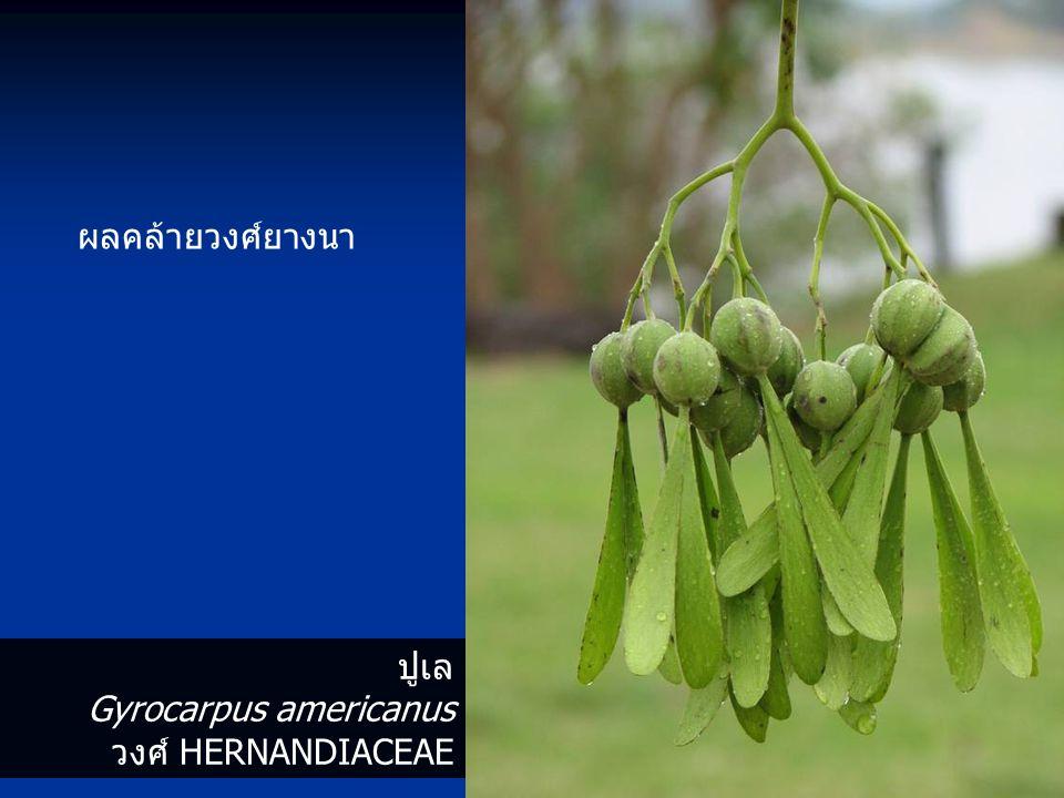 ผลคล้ายวงศ์ยางนา ปูเล Gyrocarpus americanus วงศ์ HERNANDIACEAE