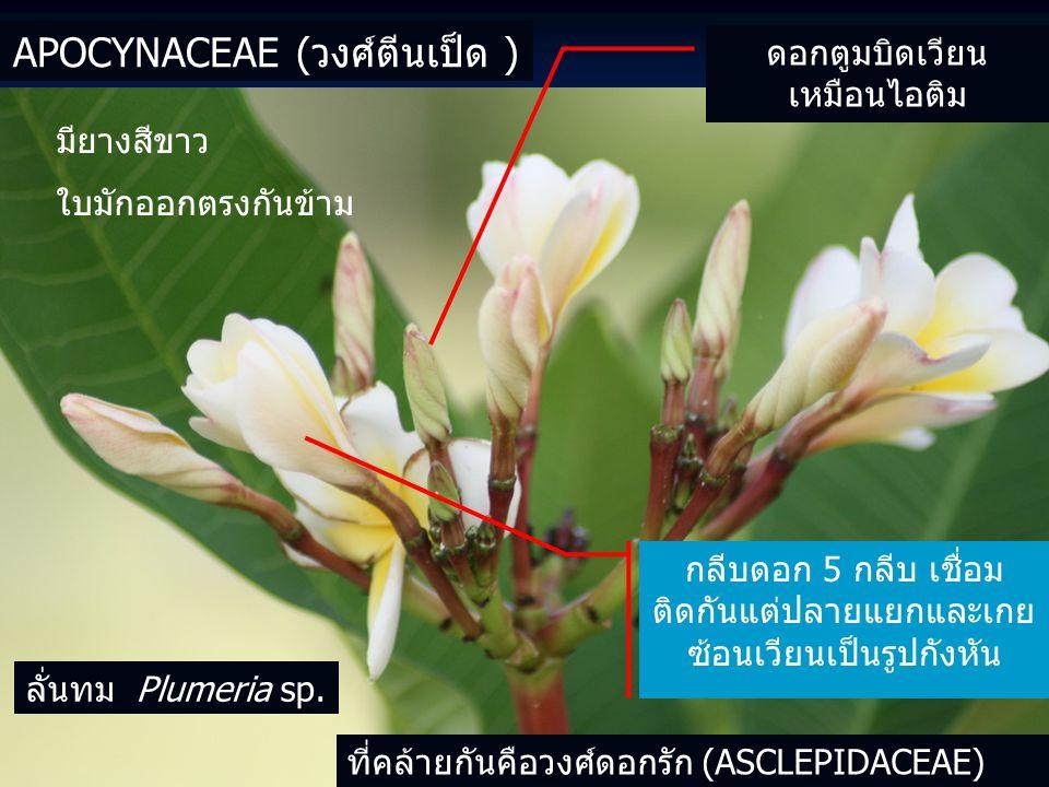 APOCYNACEAE (วงศ์ตีนเป็ด ) ดอกตูมบิดเวียน เหมือนไอติม กลีบดอก 5 กลีบ เชื่อม ติดกันแต่ปลายแยกและเกย ซ้อนเวียนเป็นรูปกังหัน มียางสีขาว ใบมักออกตรงกันข้าม ที่คล้ายกันคือวงศ์ดอกรัก (ASCLEPIDACEAE) ลั่นทม Plumeria sp.