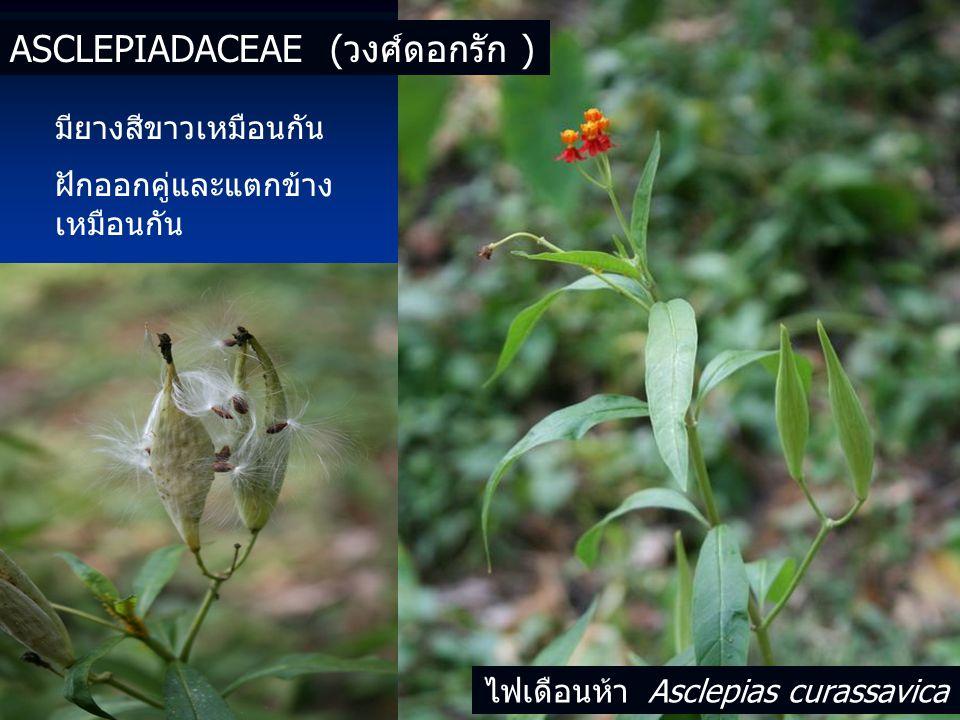 มียางสีขาวเหมือนกัน ฝักออกคู่และแตกข้าง เหมือนกัน ASCLEPIADACEAE (วงศ์ดอกรัก ) ไฟเดือนห้า Asclepias curassavica