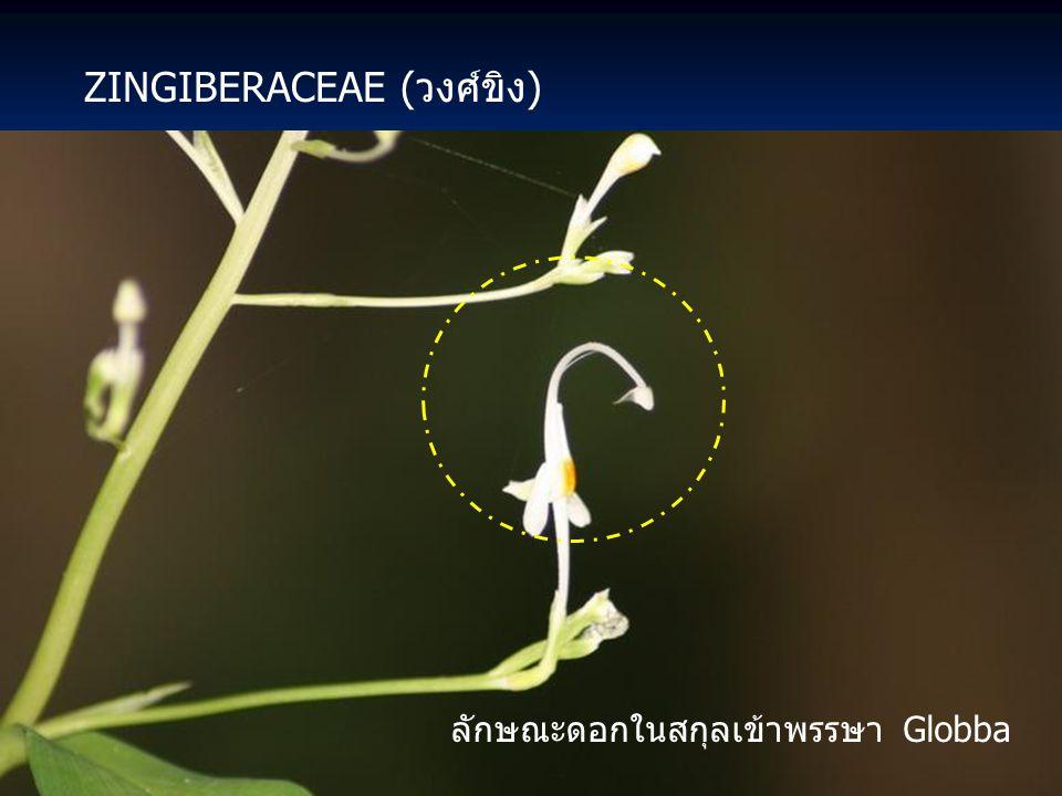DIOSCOREACEAE (วงศ์กลอย) มันเสา Dioscorea alata