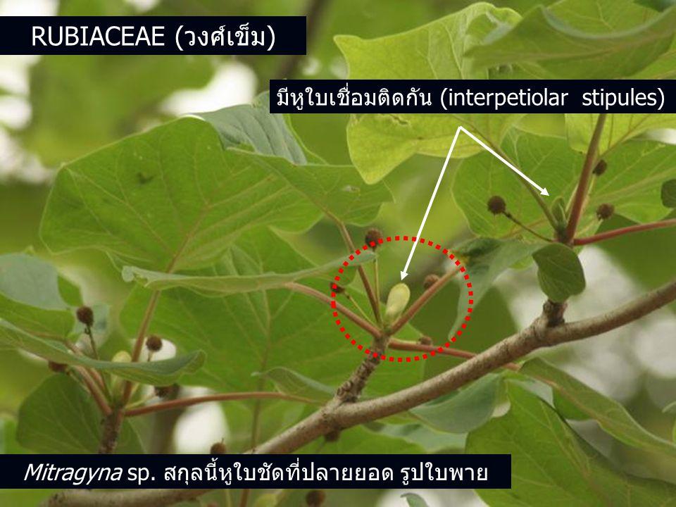RUBIACEAE (วงศ์เข็ม) มีหูใบเชื่อมติดกัน (interpetiolar stipules) Mitragyna sp.