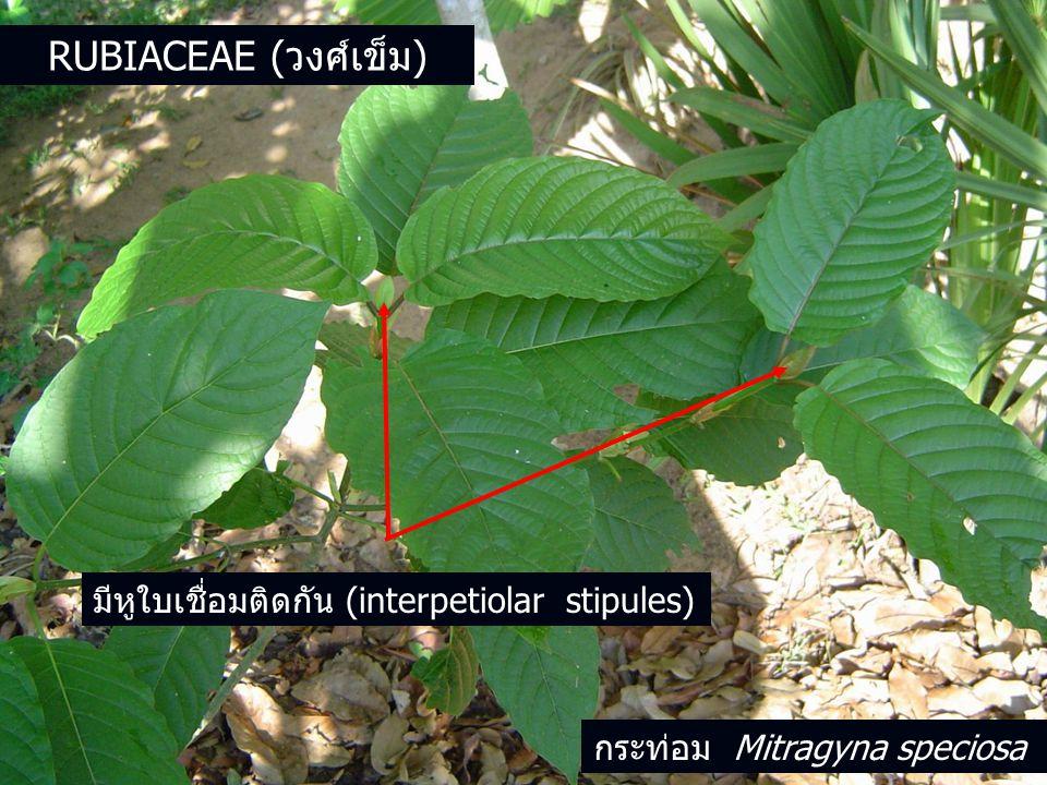 มีหูใบเชื่อมติดกัน (interpetiolar stipules) กระท่อม Mitragyna speciosa RUBIACEAE (วงศ์เข็ม)