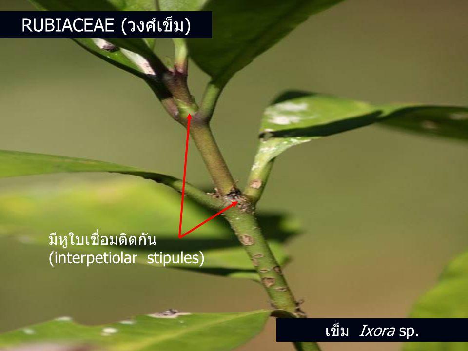 มีหูใบเชื่อมติดกัน (interpetiolar stipules) เข็ม Ixora sp. RUBIACEAE (วงศ์เข็ม)