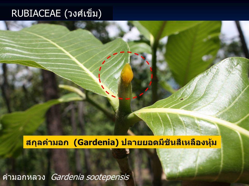 สกุลคำมอก (Gardenia) ปลายยอดมีชันสีเหลืองหุ้ม คำมอกหลวง Gardenia sootepensis RUBIACEAE (วงศ์เข็ม)