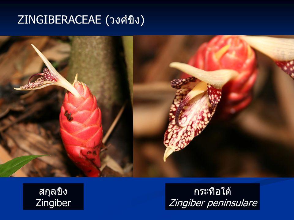 ZINGIBERACEAE (วงศ์ขิง) สกุลขิง Zingiber กระทือใต้ Zingiber peninsulare