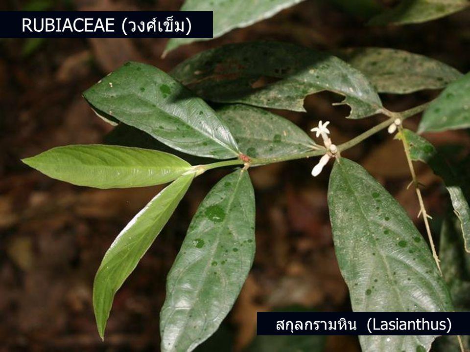 สกุลกรามหิน (Lasianthus) RUBIACEAE (วงศ์เข็ม)