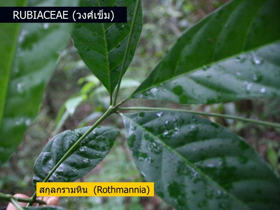 สกุลกรามหิน (Rothmannia) RUBIACEAE (วงศ์เข็ม)